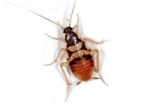 control de cucaracha de banda marron