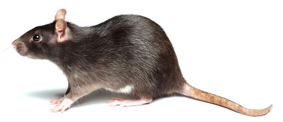 control de rata negra
