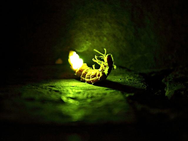 Las luciernagas y sus misterios