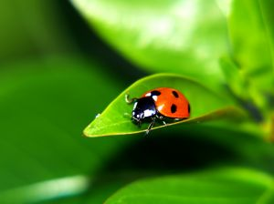 Mariquitas: los insectos mas queridos por niños y agricultores