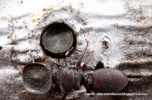 Las hormigas tortuga existen