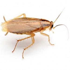 La cucaracha alemana es la más común no sólo en casas o apartamentos, sino también en restaurantes y hoteles