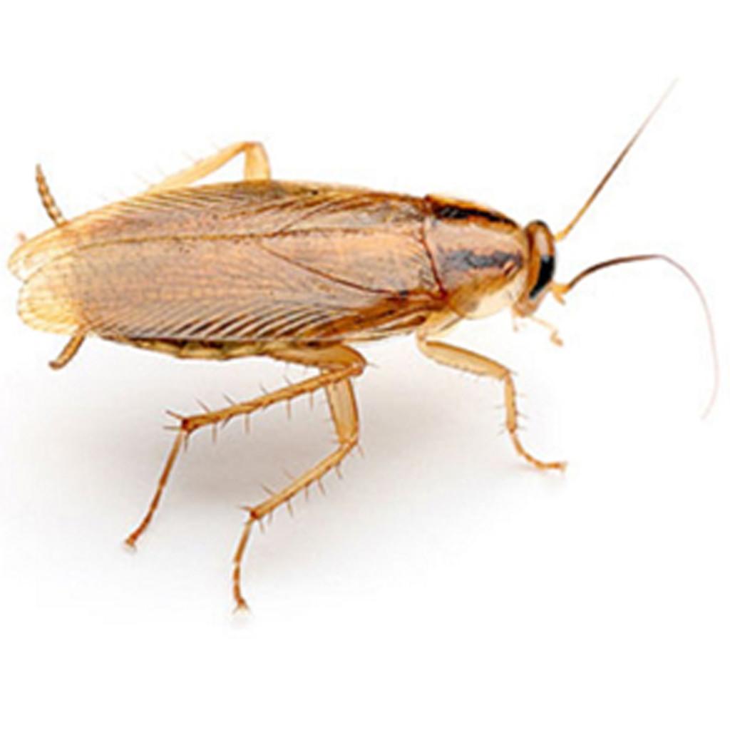 3 tipos de cucaracha que pueden acechar la paz de tu hogar ant control de plagas. Black Bedroom Furniture Sets. Home Design Ideas