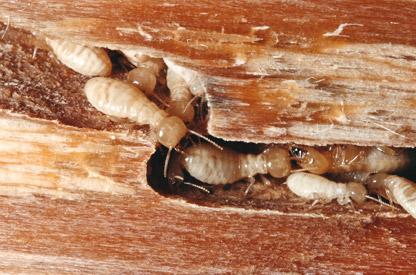 Termita una plaga que puede causar da os muy costosos a - Termitas en casa como matarlas ...