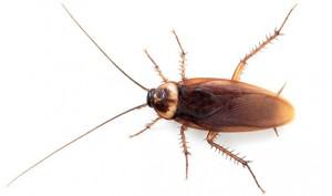 Esta especie de cucaracha es conocida en la costa mediterránea, la atlántica andaluza y en las Islas Canarias