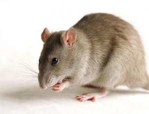 Las plagas de ratones y ratas son capaces de transmitir una serie de enfermedades, por lo que resulta necesario eliminarlas de inmediato