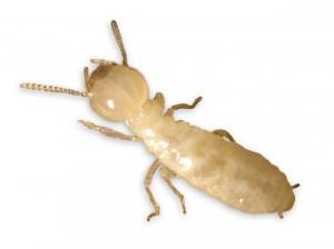 Las termitas subterráneas se alimentan de madera y otras materiales celulosos