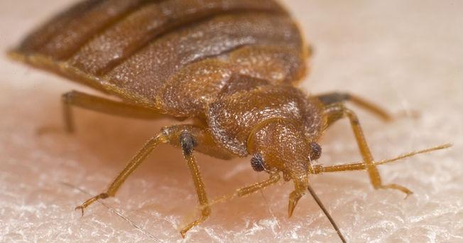 Chinches De La Cama Como Detectarlas Y Controlarlas Ant Control