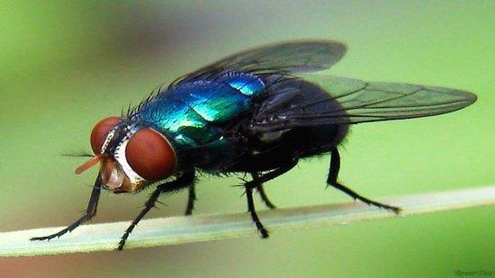 Resultado de imagen de mosca