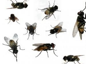 La mosca se encuadra dentro del orden de insectos dípteros, que implica que cuentan solamente con dos alas