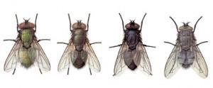 Las moscas están implicadas en la transmisión de enfermedades infecciosas como la disentería, el cólera, y la fiebre tifoidea
