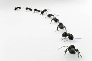 """Al encontrar alimento, las hormigas van dejando feromonas en el camino, lo cual permite al resto de la colonia guiarse hasta el lugar, este se conoce como """"camino de aroma"""""""