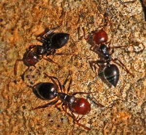 Este tipo de hormigas son además, muy molestas para los peladores, dada su agresividad y dolorosa picadura.