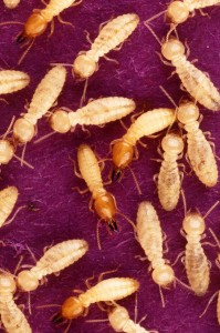 La mayor parte de las termitas son de climas tropicales o subtropicales