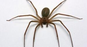 La picadura de esta araña puede producir complicaciones respiratorias y hasta daño pulmonar