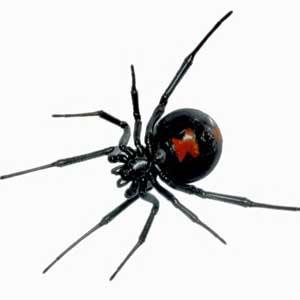 Su color negro brillante te hará diferenciarla del resto de las especies