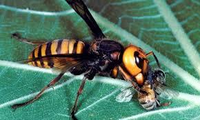 Es común verlo alimentarse de abejas, moscas y otros insectos de tamaño similar