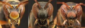 Si alguna de estas avispas  es molestada por humanos, de inmediato los picará como mecanismo de defensa