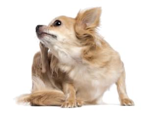perro con pulgas