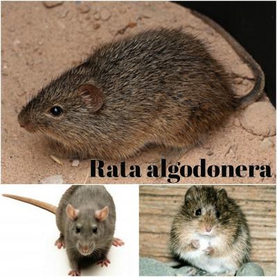 rata algodonera