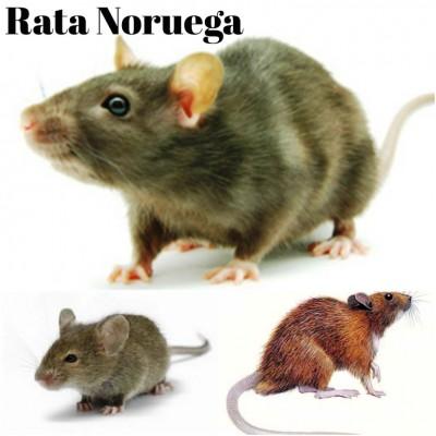 rata noruega