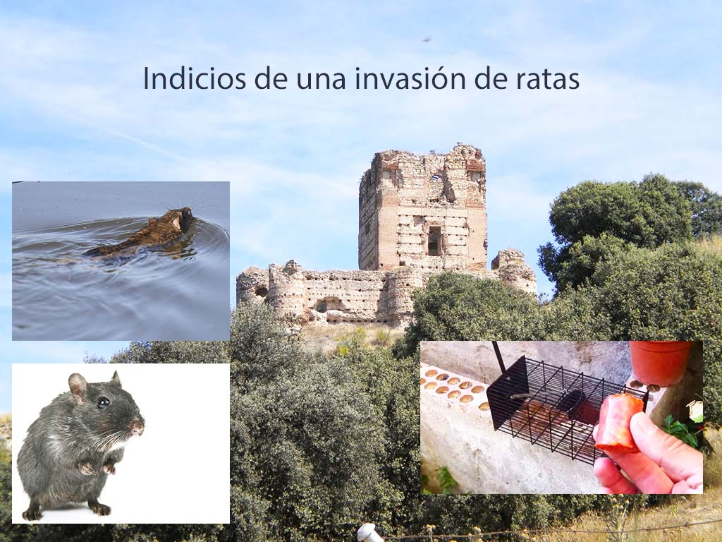 Indicios de una invasión de ratas