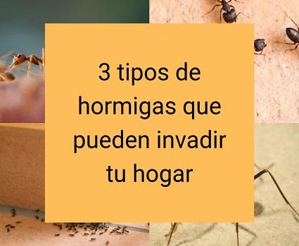 3 tipos de hormigas que pueden invadir tu hogar