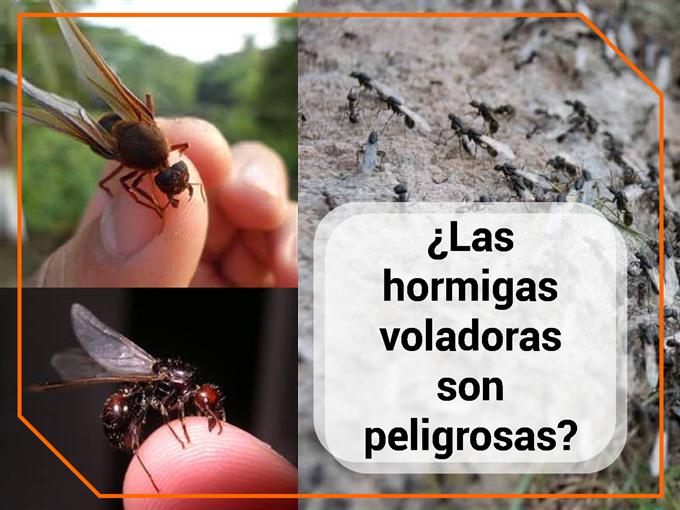 ¿Las hormigas voladoras son peligrosas?