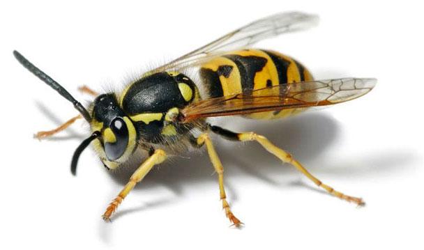cucaracha-comun