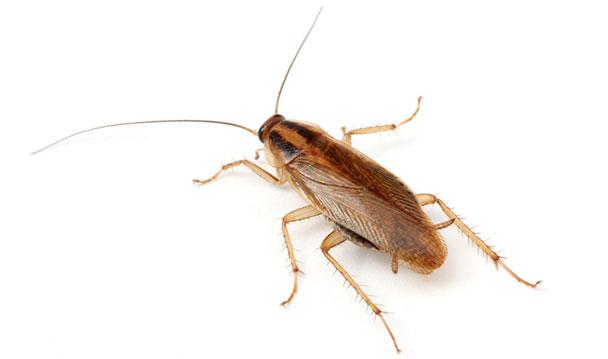 control de cucaracha rubia