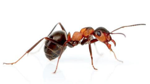 hormigas comunes