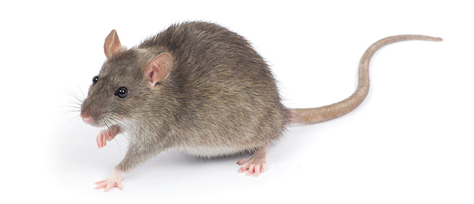 control de rata parda